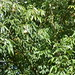 Aesculus Flava Vestita 'sweet buckeye' at Nyman's House and Garden