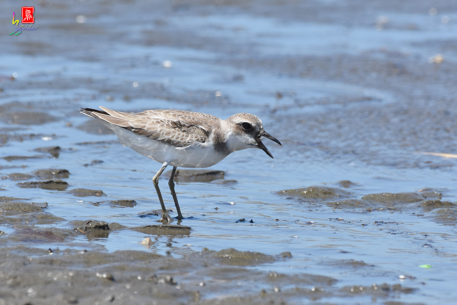 Greater_Sand_Plover_3311