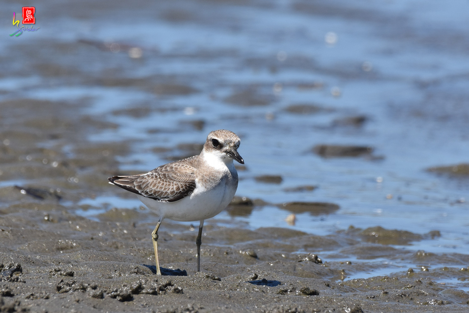 Greater_Sand_Plover_3001