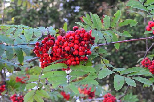 [Rosaceae] Sorbus aucuparia (Eberesche, Vogelbeerbaum)