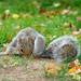 Scavenging squirrel