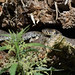 Grass Snake (image 3 of 3) by Full Moon Images