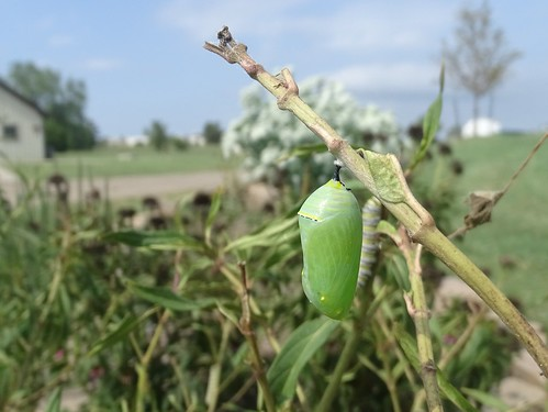 Monarch Butterfly Chrysalis on McConnell Air Force Base