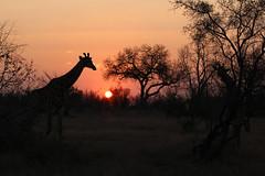 Coucher de soleil sur le parc Kruger