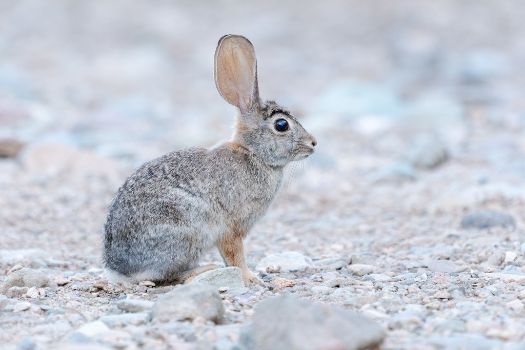 An close-up portrait of a desert cottontail sitting in Apache Wash in Phoenix Sonoran Preserve in Phoenix, Arizona