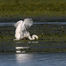 Great Egret-5.jpg