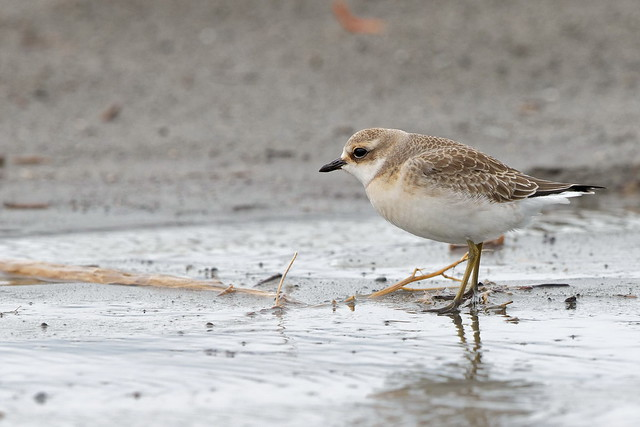 Mongolian Plover, Canon EOS 7D MARK II, Canon EF 500mm f/4L IS II USM