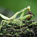 Mantis and prey by CatchSoul