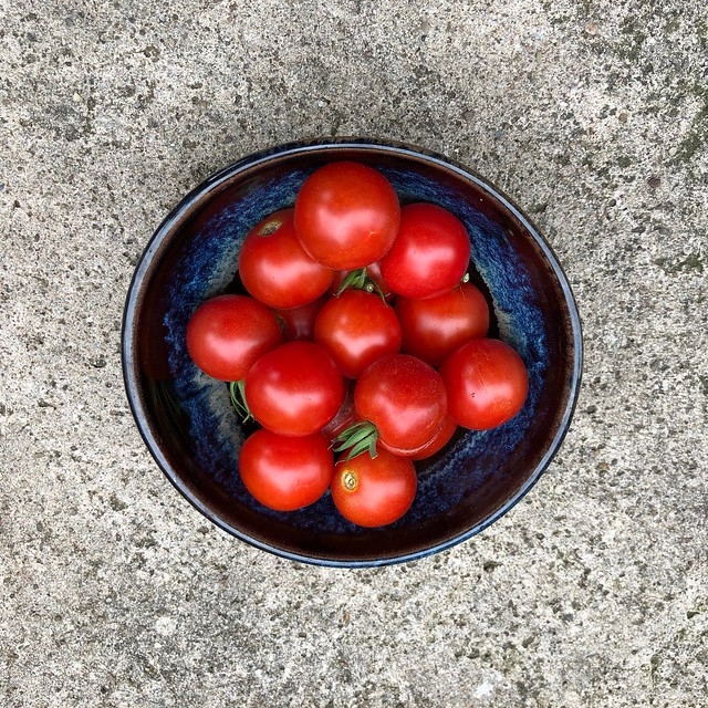 Volunteer large cherry tomatoes