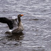 Greylag Goose, in Strathclyde country park