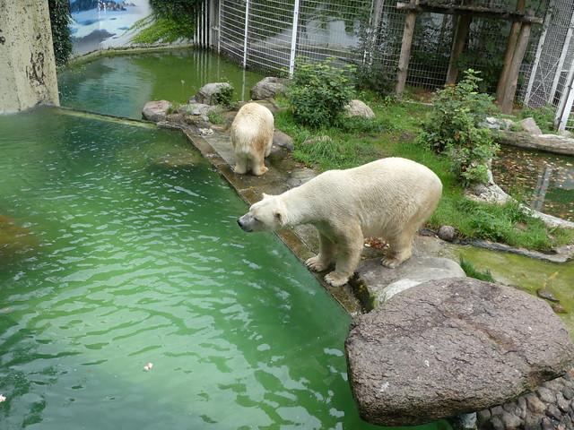 85e3f968099f53 Eisbär Larissa   Vitus – III – Zoo Neumünster – 20.8.´18 ...