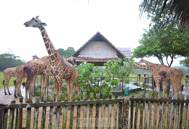 calauit safari park busuanga coron palawan