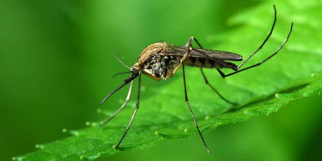 Concevoir un répulsif naturel contre les moustiques