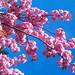 Pink Blossom on blue sky