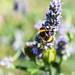 Bee, in the garden