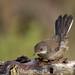 Curruca cabecinegra (Sylvia melanocephala) juvenil