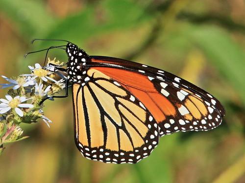 Monarch butterfly 02-20180914