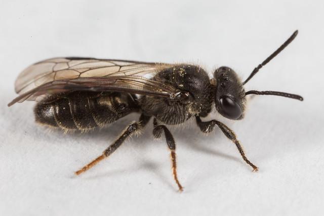 Lasioglossum? Bee 1