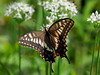 Photo:Old World swallowtail butterfly (Papilio machaon, キアゲハ) By Greg Peterson in Japan