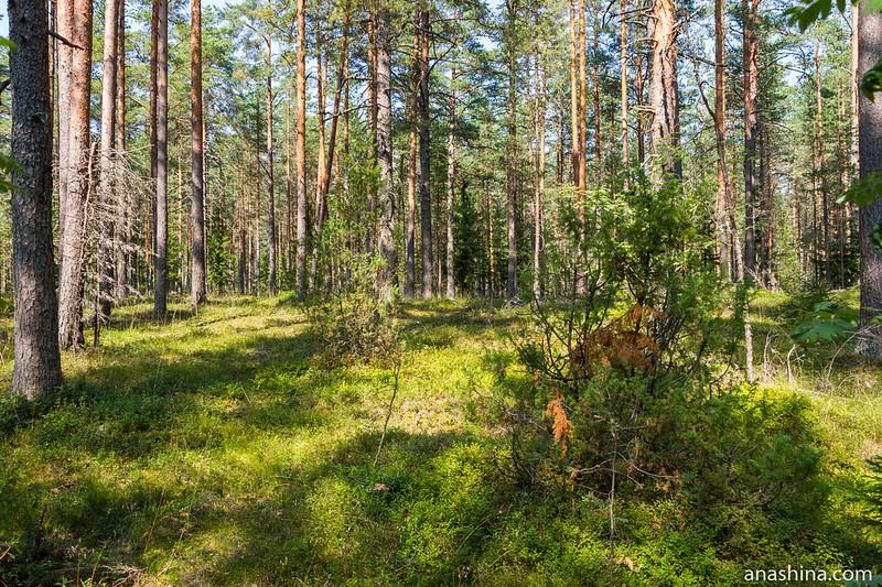 Лес на Карельском перешейке