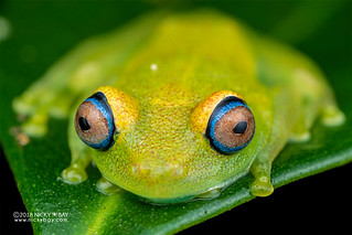 Green bright-eyed frog (Boophis viridis) - DSC_9704