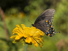 Eastern Tiger Swallowtail, black female form (Papilio glaucus)