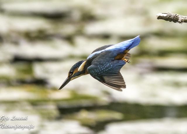 Ijsvogel Kingfisher