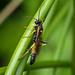 Ichneumon cf. suspiciosus
