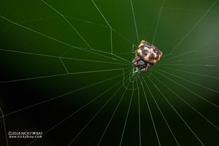 Spiny orb weaver (Gasteracantha sp.) - DSC_7842