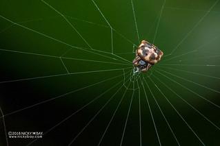 Spiny orb weaver (Gasteracantha sp.) - DSC_7842