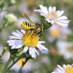 Megachile Leaf Cutter 7512sq