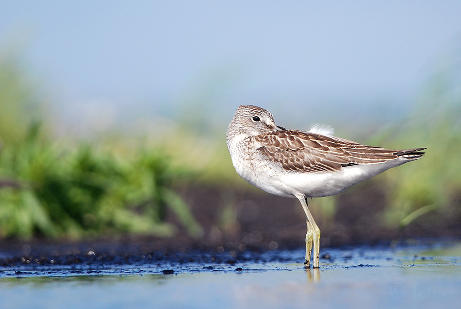 Heletilder, tilder, Tringa, nebularia, Common, Greenshank, Greater, Estonia, Kaido Rummel
