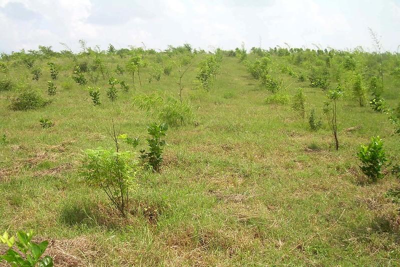 माता नु वन में पौधे पेड़ का रूप ले रहे हैं