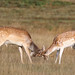 Fallow Deer Dama dama Buck 006-1