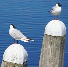Sea Gulls at Veere (5)