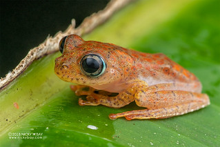 Fiery red bright-eyed frog (Boophis pyrrhus) - DSC_2698