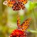 Flutterby - Butterflies