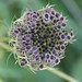Wild carrot by Arkle1