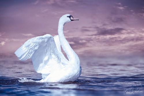 Mute swan. Art