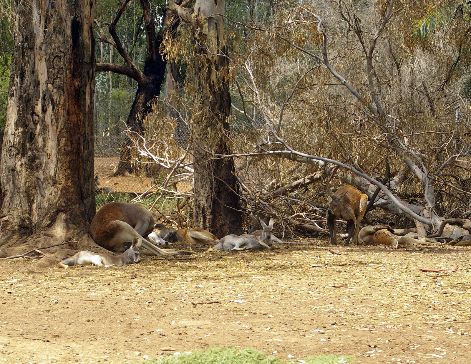 Mob of male and female Red Kangaroos (Macropus rufus) at the Wagga Wagga Botanic Gardens. Photo taken on January 5, 2010.