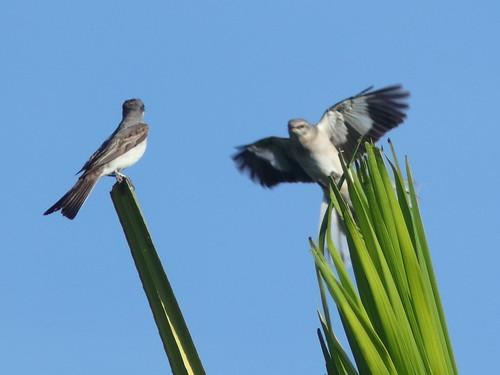 Northern Mockingbird vs Gray Kingbird 01-20180823