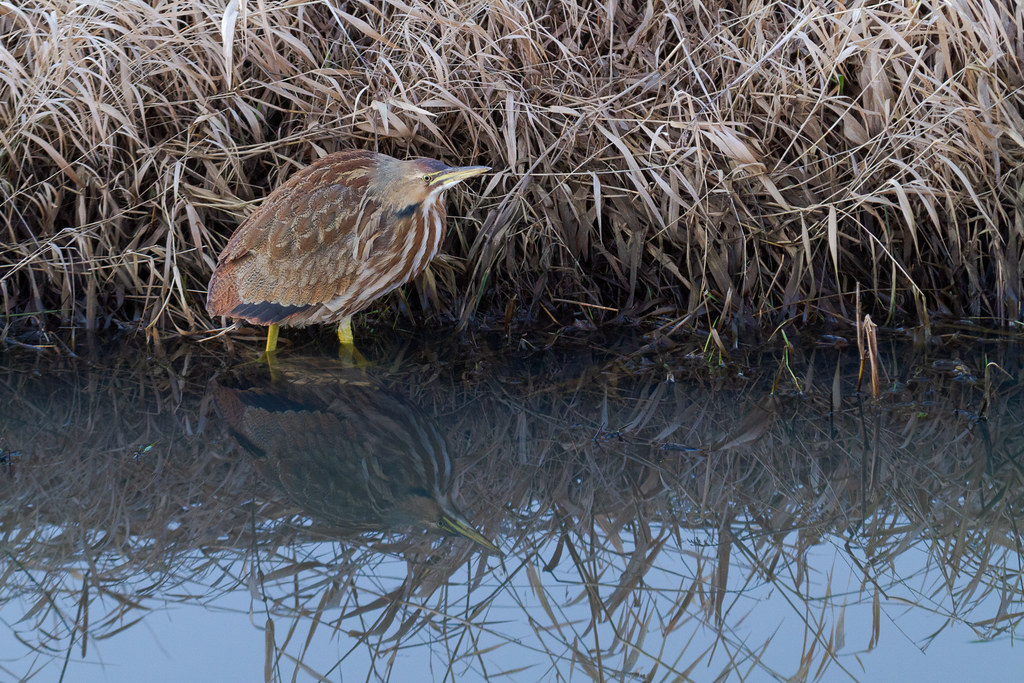 An American bittern stands in the water next to Rest Lake at Ridgefield National Wildlife Refuge in Ridgefield, Washington