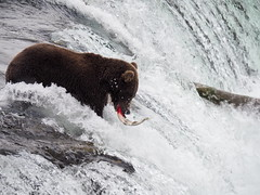 Alaska_BrooksFalls_20180824-152934_PALE7470#