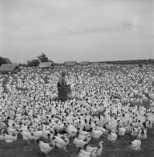 A chicken farmer, Port Williams, Nova Scotia / Un producteur de poulets, Port Williams (Nouvelle-Écosse)