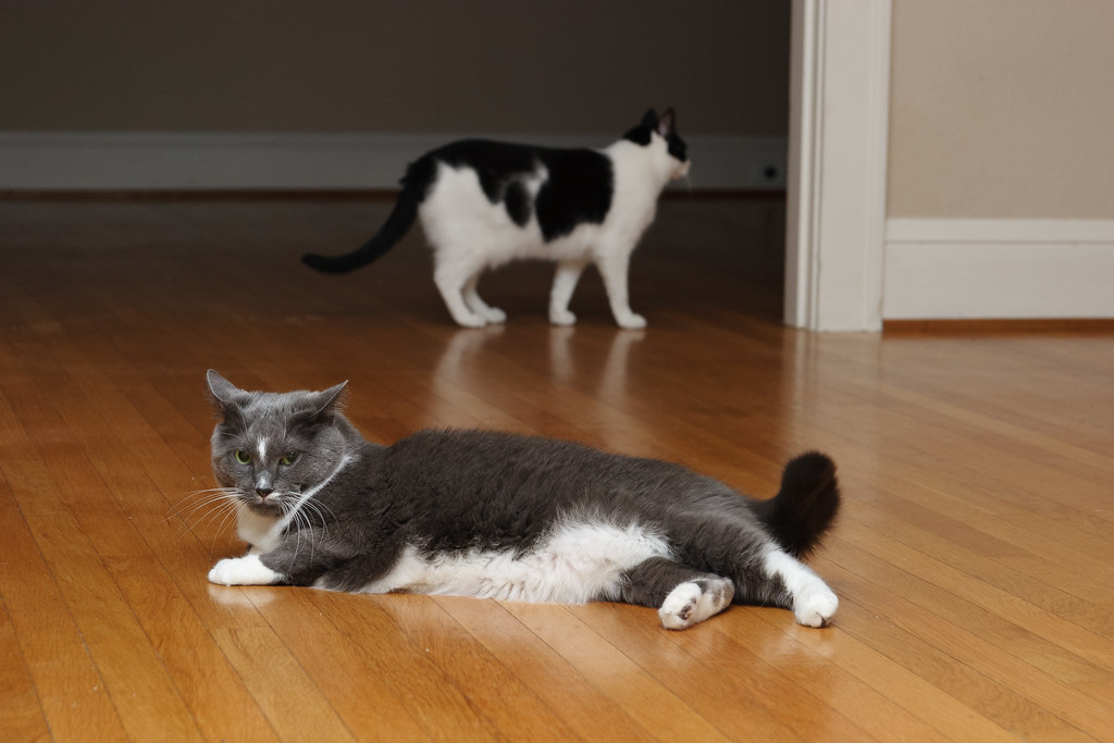 Our cats Templeton and Scout on the hardwood floors of our empty living and dining rooms