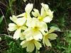 NP Aigüestortes i Estany de Sant Maurici, prvosenka bezlodyžná (Primula vulgaris), foto: Petr Nejedlý