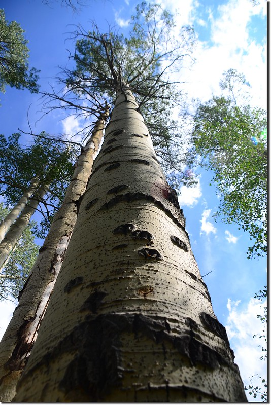 Aspen tree along the trail (4)
