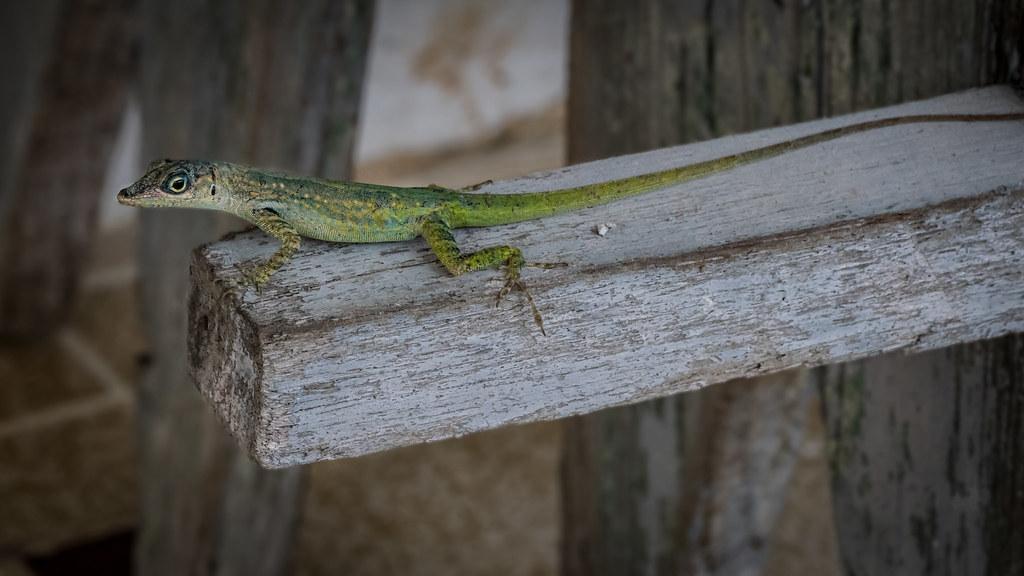 Le reptile gymnaste... 43675311764_03832b5d58_b