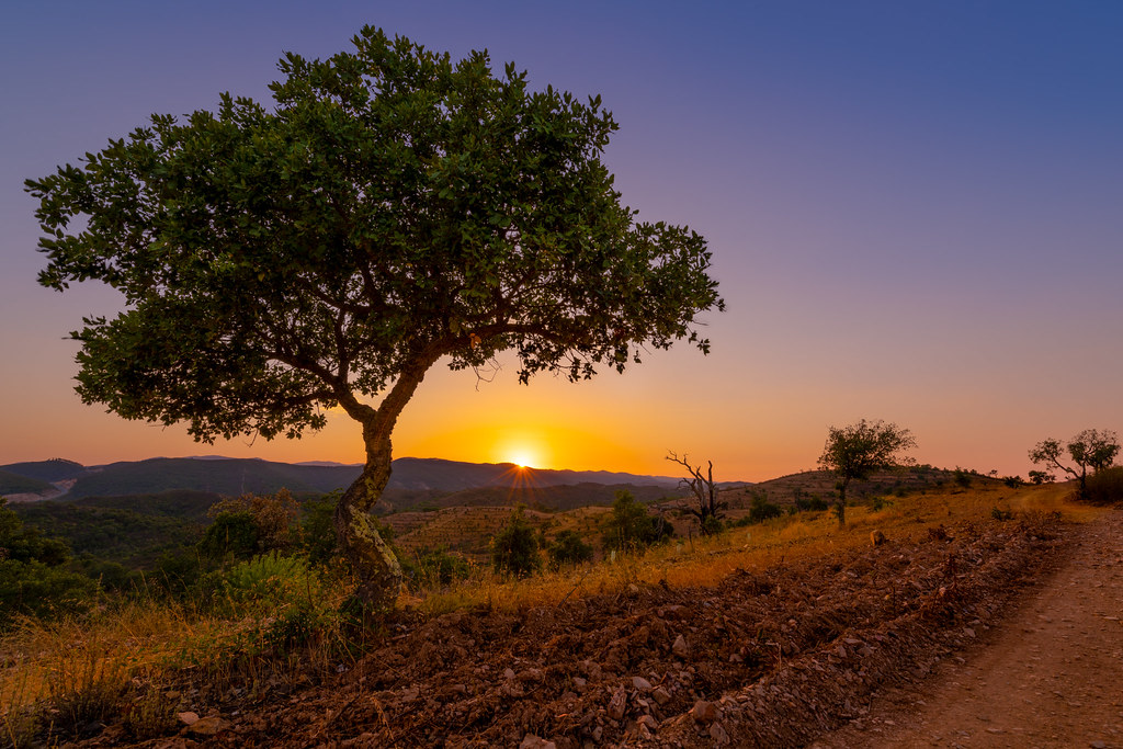 Young Cork Oak in the Algarvian Sunset - Jovem Sobreiro no pôr do sol Algarvio