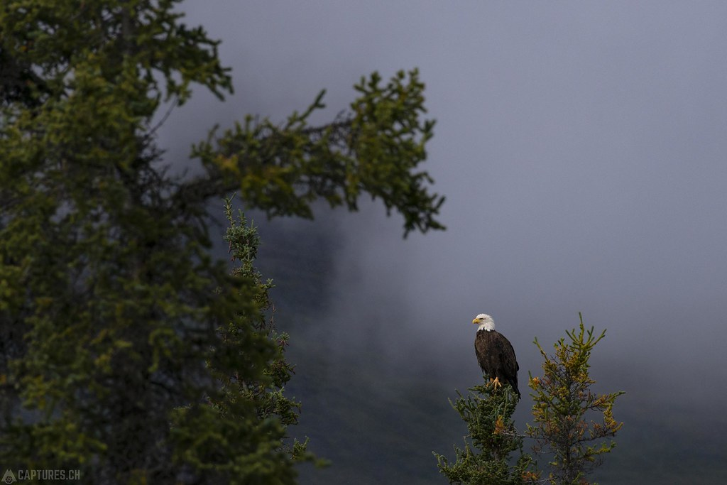 Bald eagel in the forest - Alaska